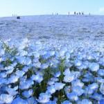 ネモフィラ 「死ぬまでに行きたい!日本の中の世界の絶景」青!