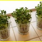 ブロッコリースプラウト 毎日買うのも大変!じゃあお家で栽培しちゃいましょう♪