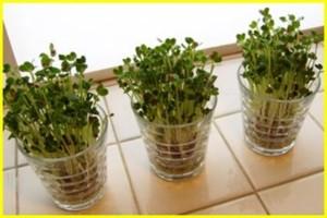 ブロッコリースプラウトをお家で簡単に栽培